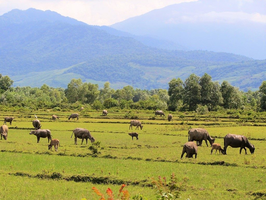 A field on buffalo on the road between Lang Co and Chan May, Vietnam