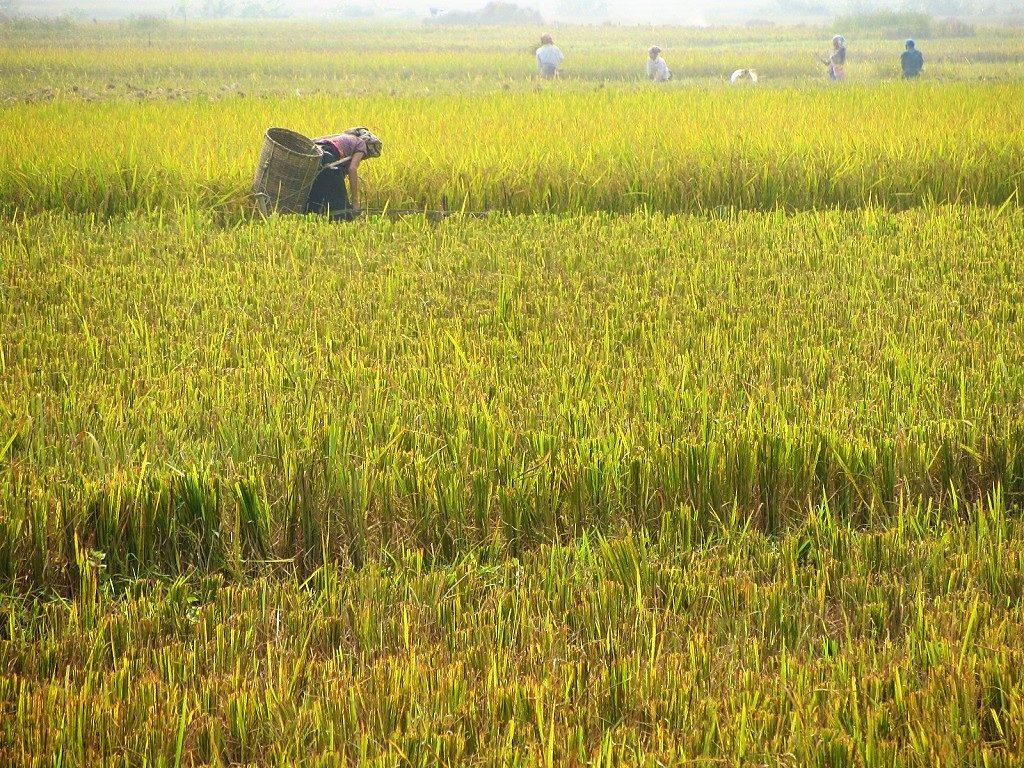 Rice fields in Mai Chau valley, Hoa Binh Province, Vietnam