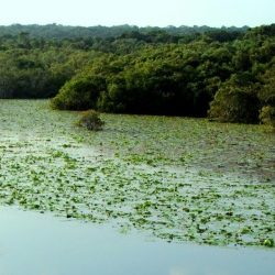 Scenic spot: lagoon with water lilies and mangrove forest