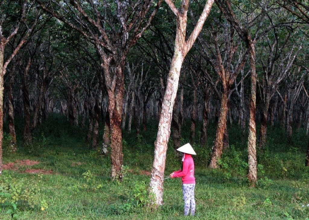 Rubber plantations near Nhơn Trạch on the 'Back Road'