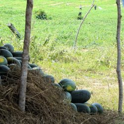 Watermelons for sale; freshly harvested from the fields behind