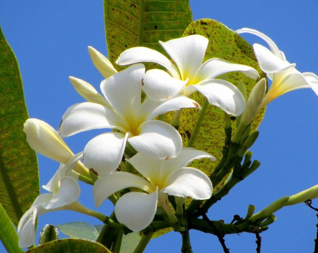 Frangipani flowers in bloom on the Ocean Road