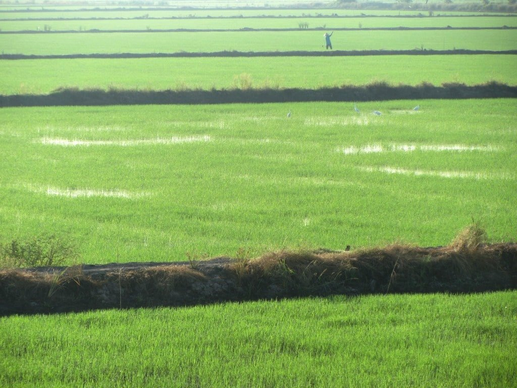 Rice fields, Mekong Delta, Vietnam