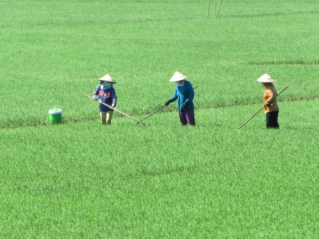 Green rice fields, Mekong Delta, Vietnam