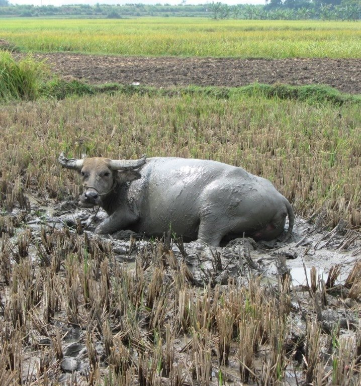 A buffalo bathes within the citadel walls