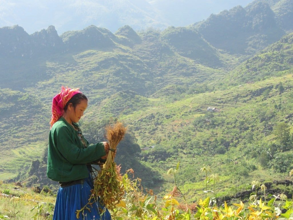 Minority woman harvesting soy beans