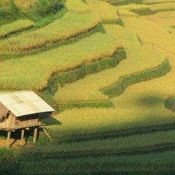 Rice harvest, Vietnam