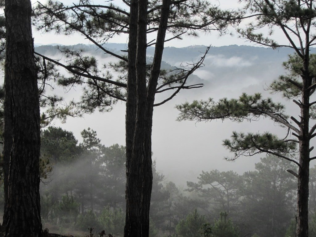 Pine forests in the mist, Dalat, Vietnam