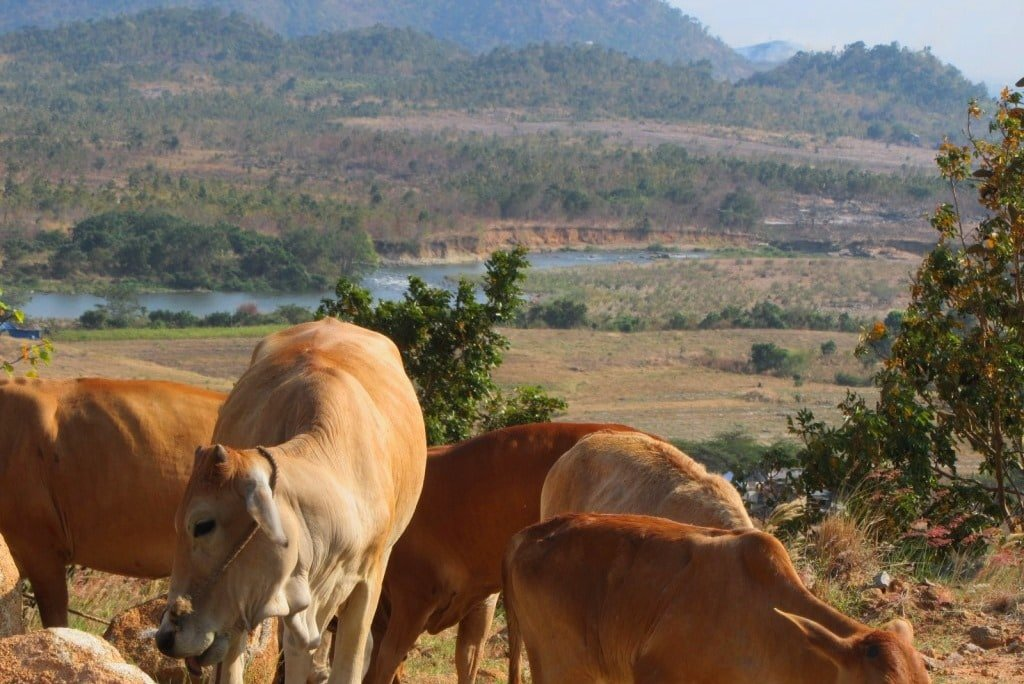 Cows on the River Road, Ninh Thuan Province, Vietnam