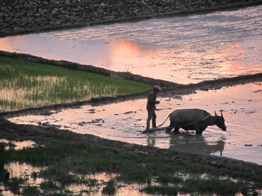 Water buffalo ploughing a rice field, Vietnam