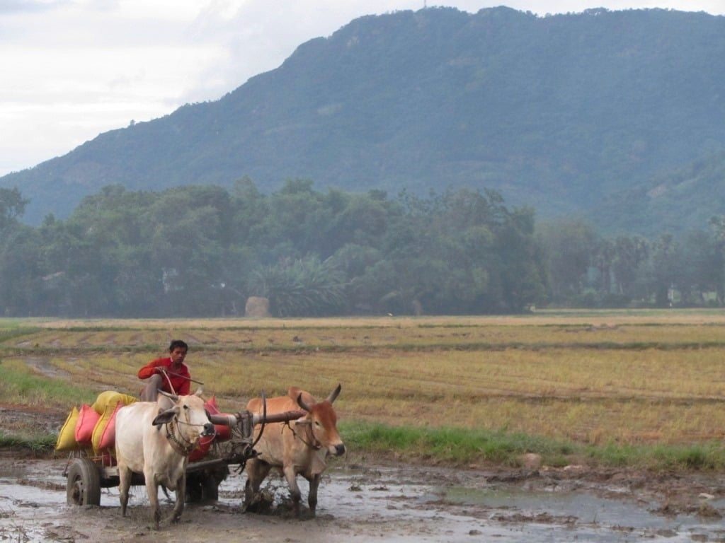 Ploughing the rice fields, An Giang Province, Mekong Delta, Vietnam