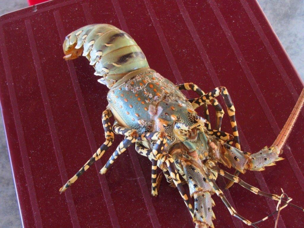 Lobster, Binh Lap Beach, Vietnam