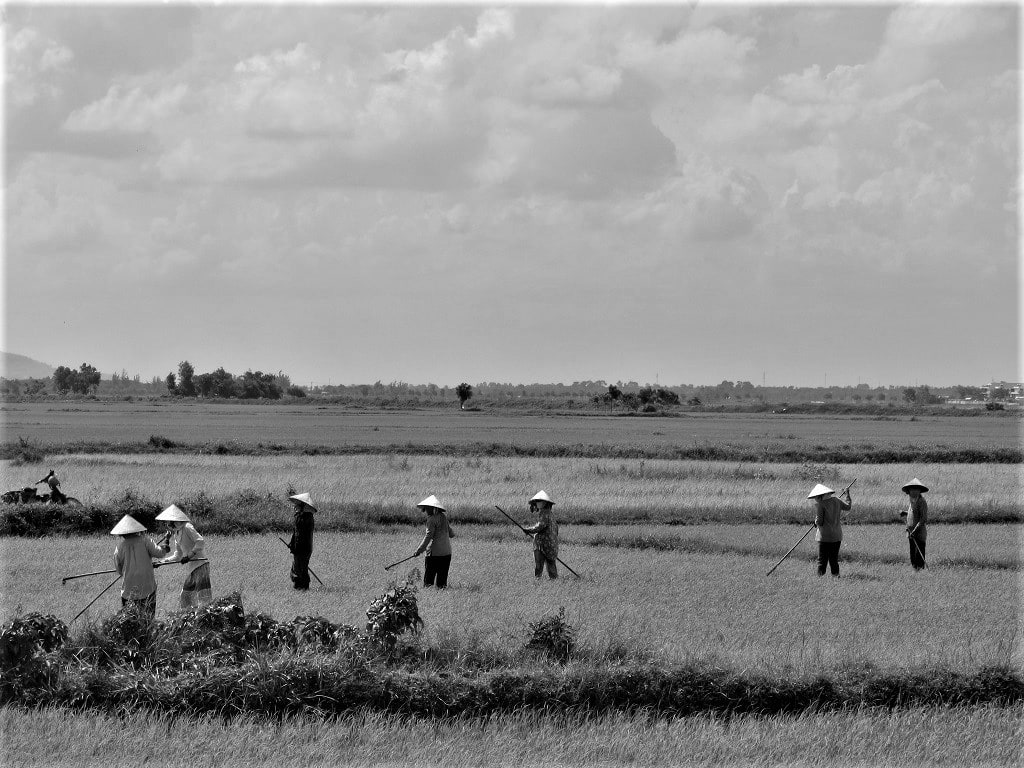 Working in the rice fields on the Ocean Road, Vietnam