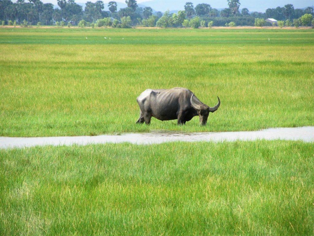 Buffalo in rice fields, Ha Tien, Mekong Delta, Vietnam