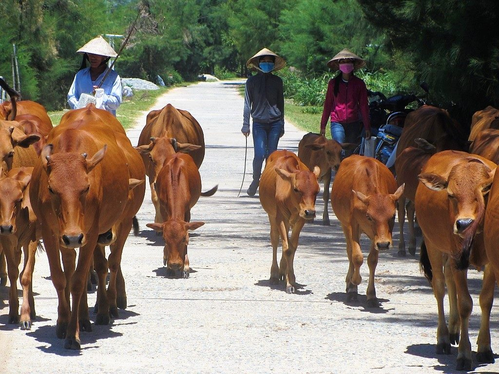 Cows on the coastal back-roads near Hue, Vietnam