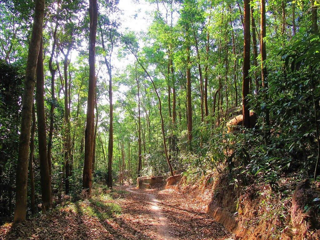 Eucalyptus forests on Núi Dinh Mountain, Ba Ria, Vietnam