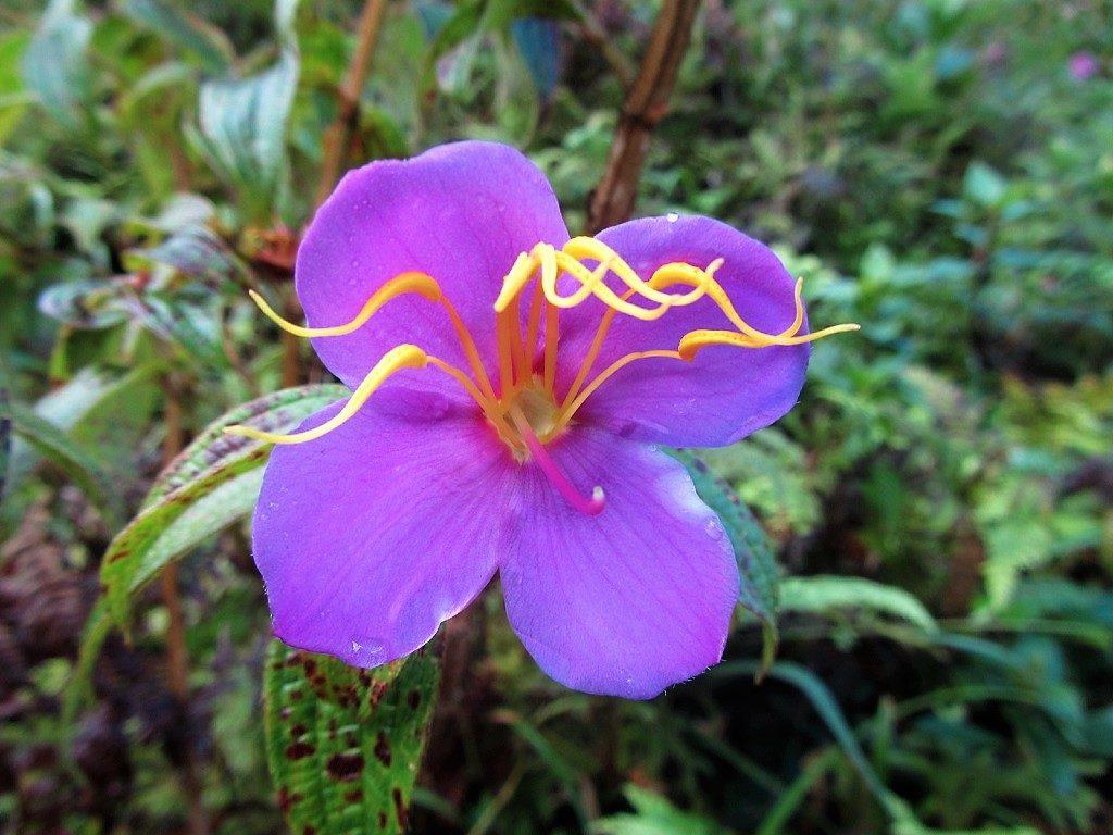 Wild flowers on Fansipan mountain, Vietnam