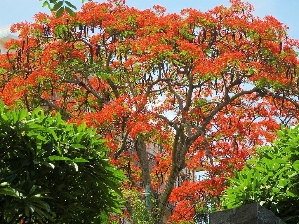 Flame tree, Vietnam