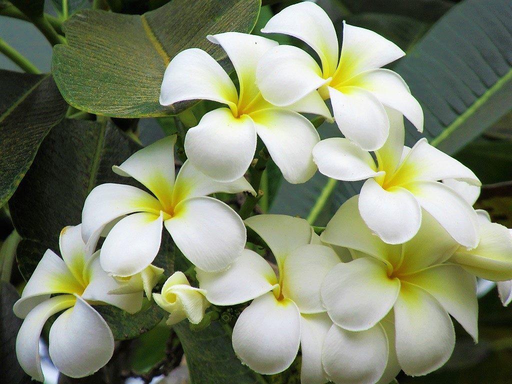 Frangipani flower, Vietnam