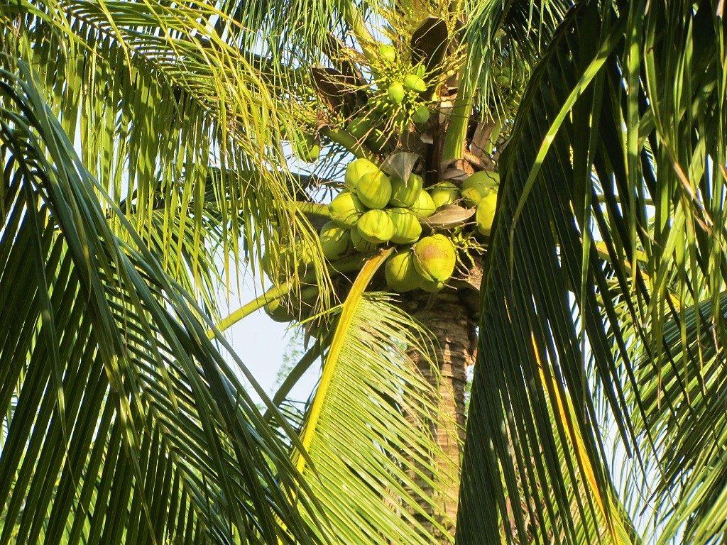 Coconut palm tree, Vietnam