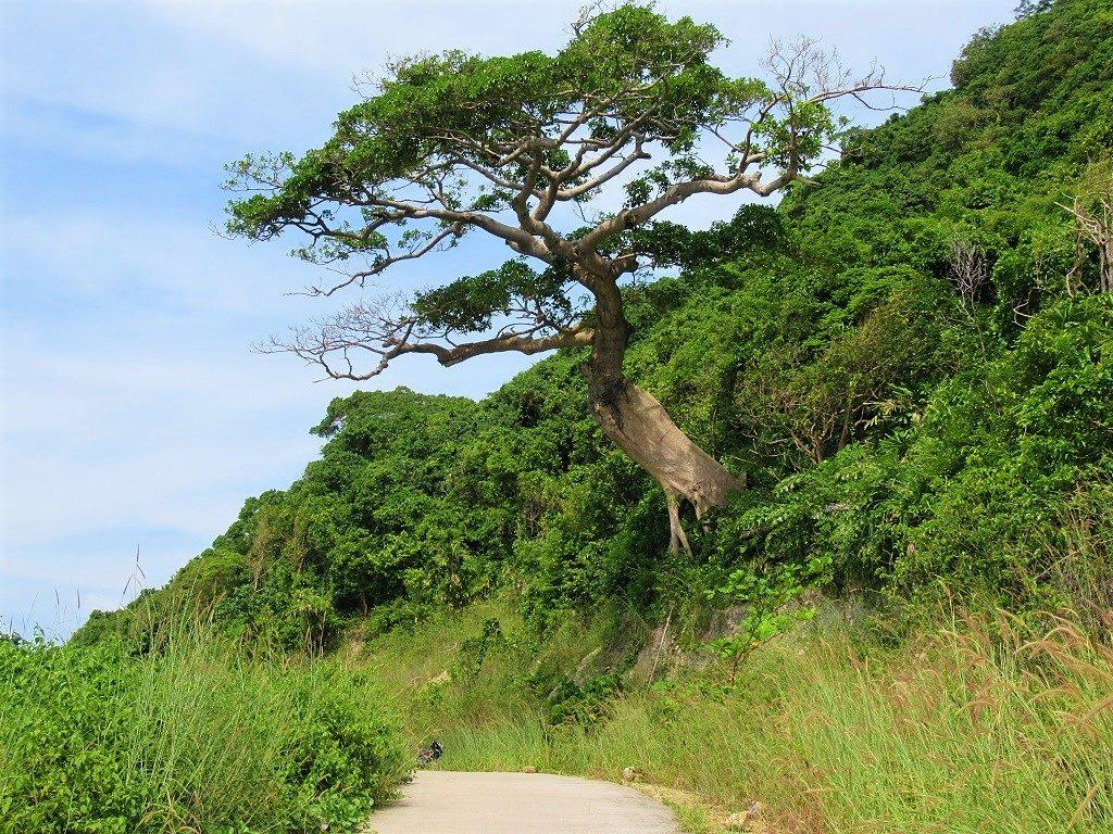 Large tropical tree, Nam Du Island, Vietnam