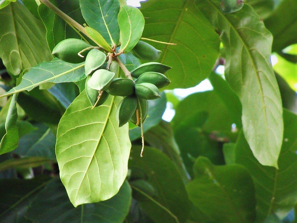 Tropical almond tree (Umbrella tree), Vietnam