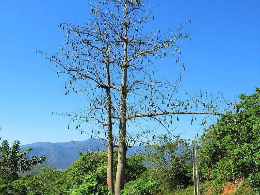Kapok tree, Vietnam