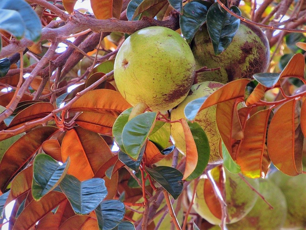 Star Apple (Vú Sữa) fruit, Vietnam