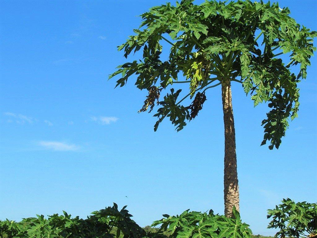 Papaya tree, Vietnam