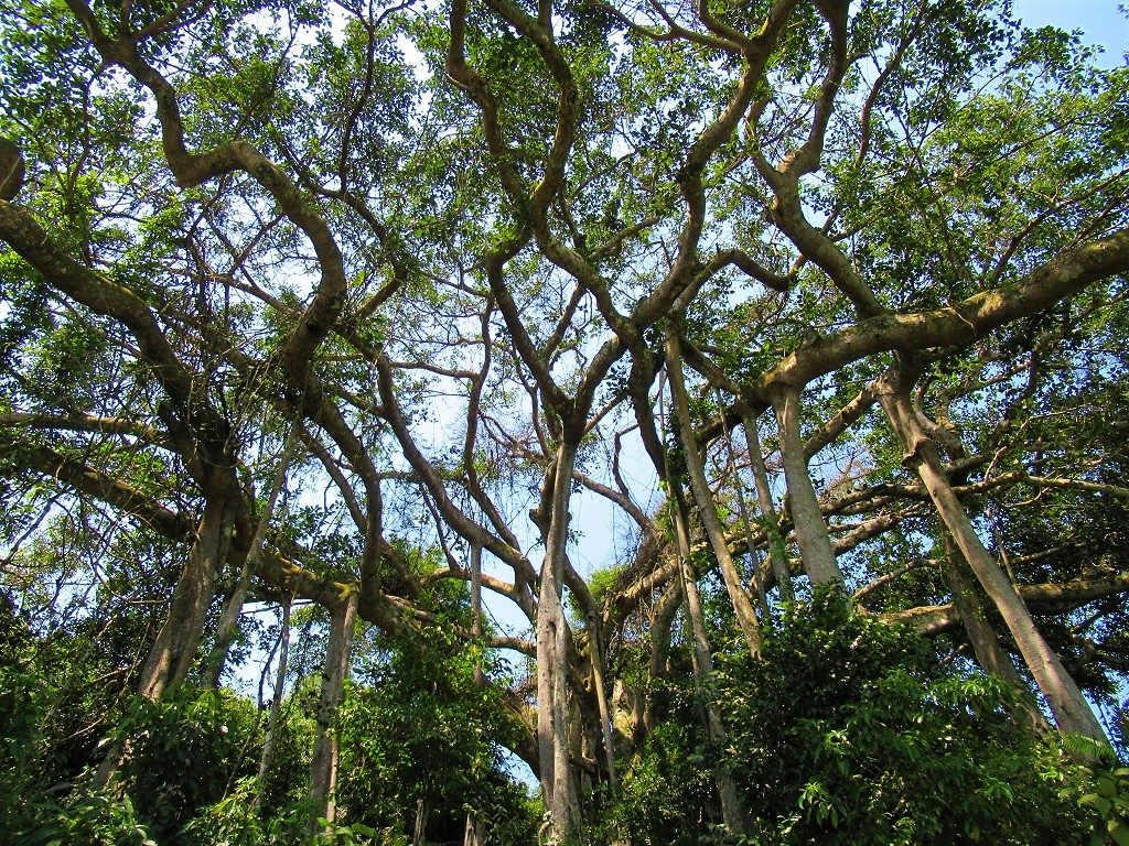 The Grand Old Banyan Tree, Son Tra, Danang