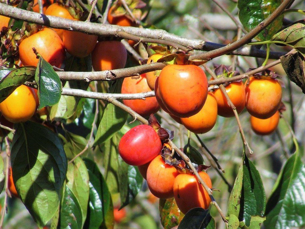 Persimmon fruit tree, Vietnam