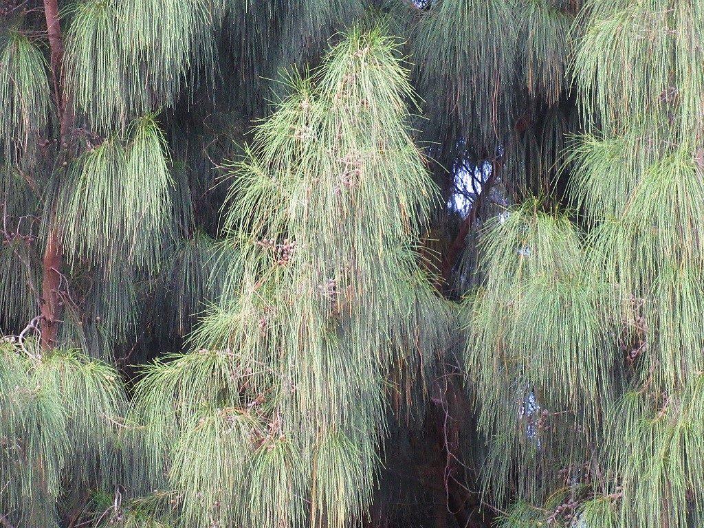 Casuarina Tree, Vietnam