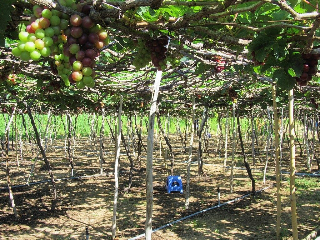 Grape vine, Ninh Thuan Province, Vietnam