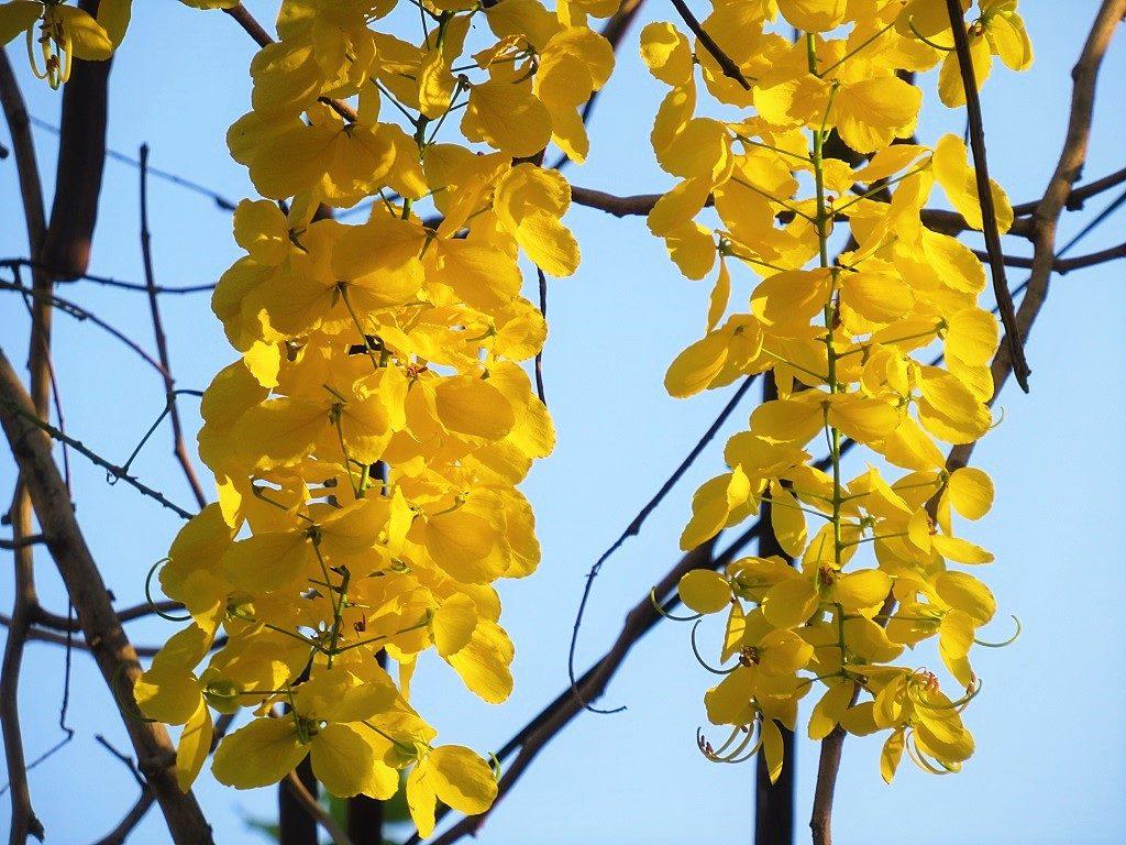 Golden Shower tree, Vietnam