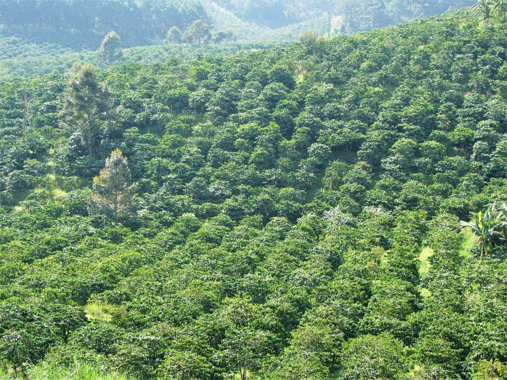 Coffee plant, Vietnam