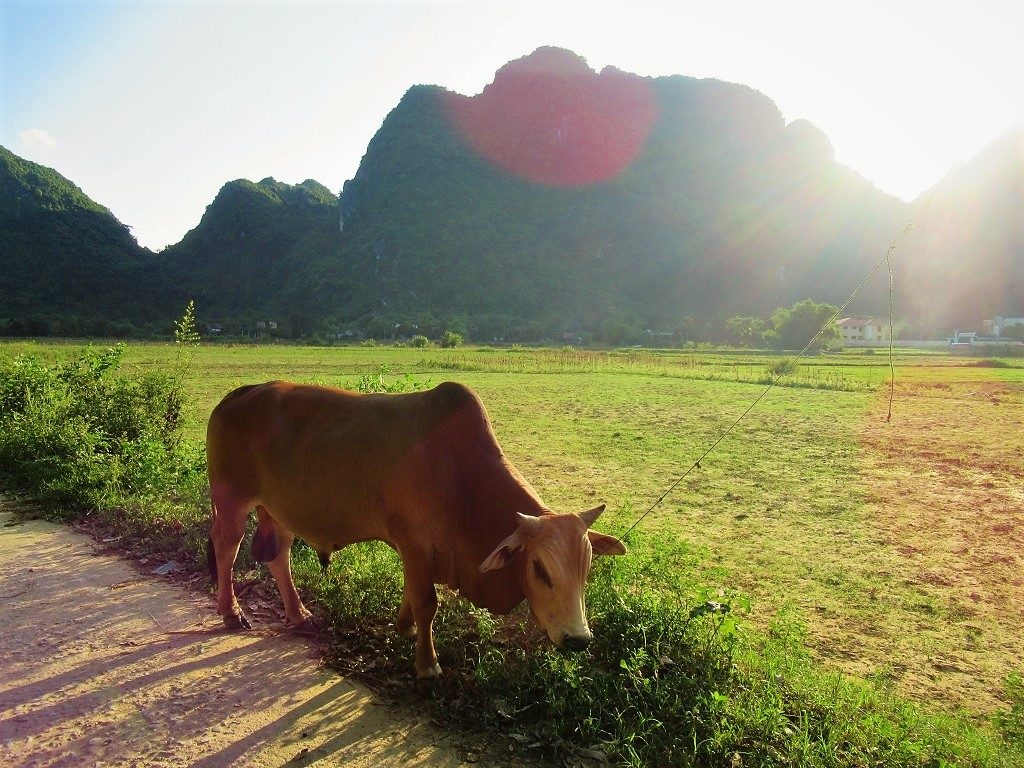 Cattle on the road, Phong Nha, Vietnam