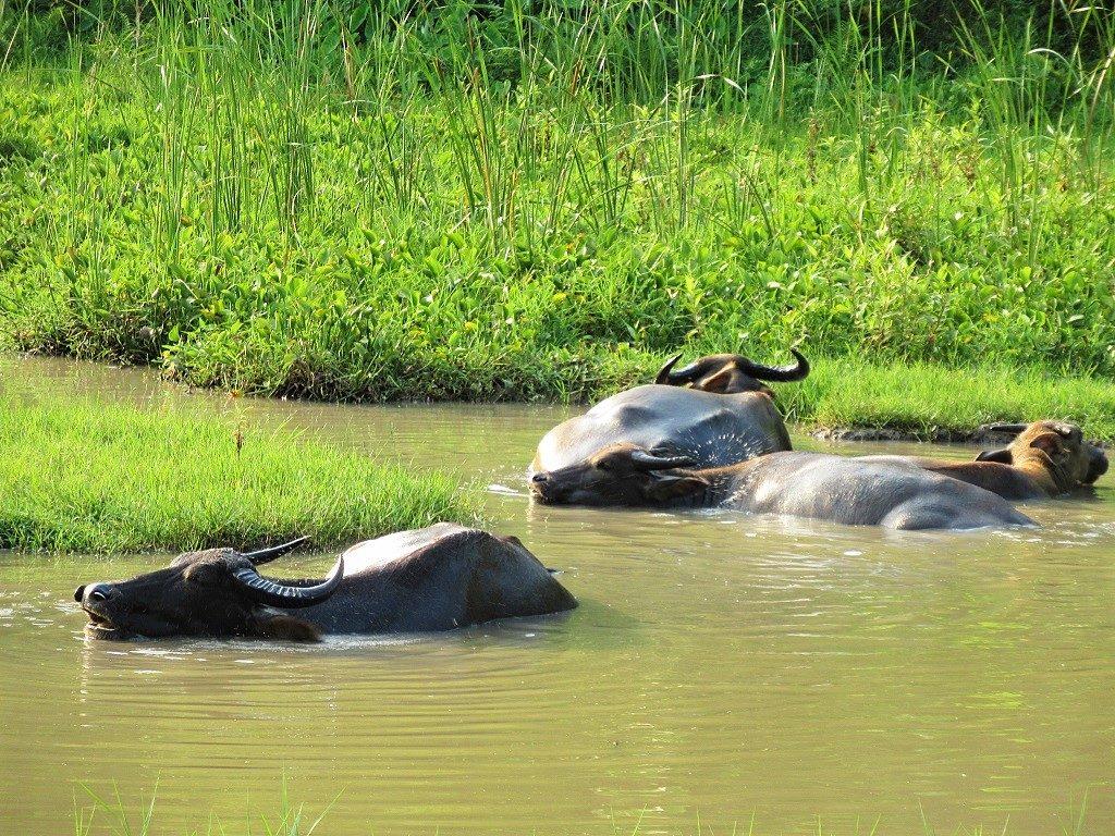 Buffaloes in Xuan Dam Hamlet, Cat Ba Island, Vietnam