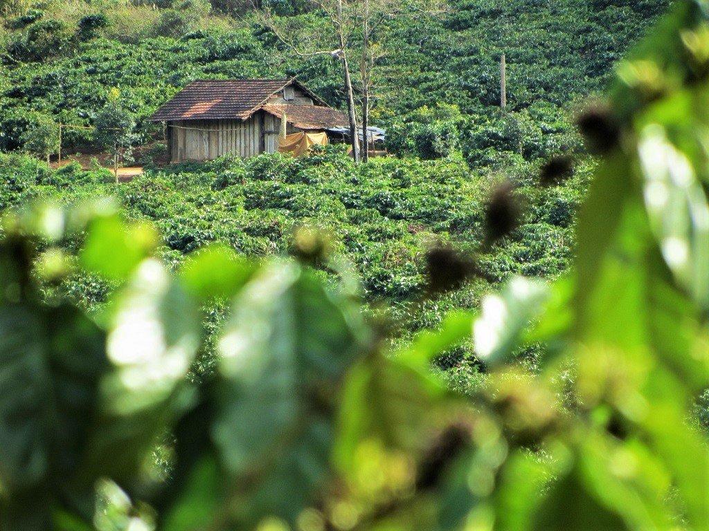A coffee plantation, Lam Dong Province, Vietnam