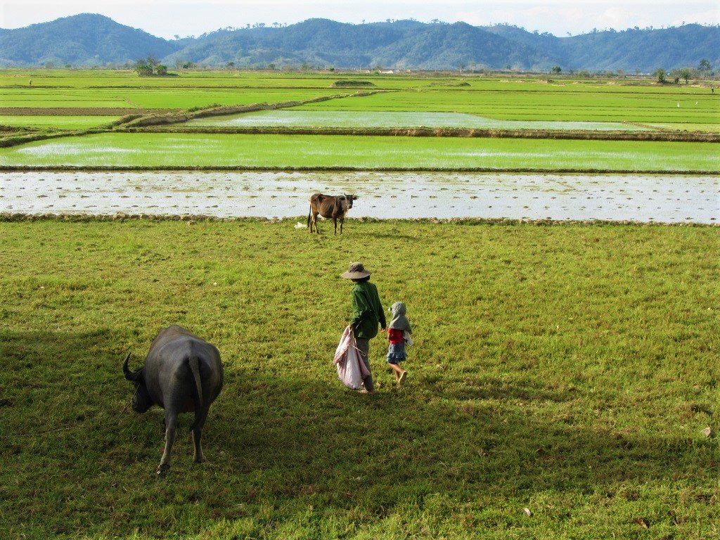 Rice fields on the banks of Lake Lak, Dak Lak Province, Vietnam