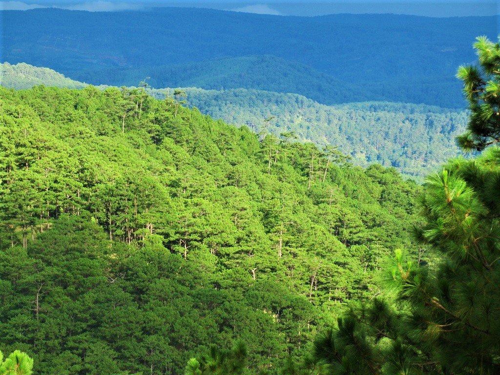 Pine forests, Dalat, Vietnam