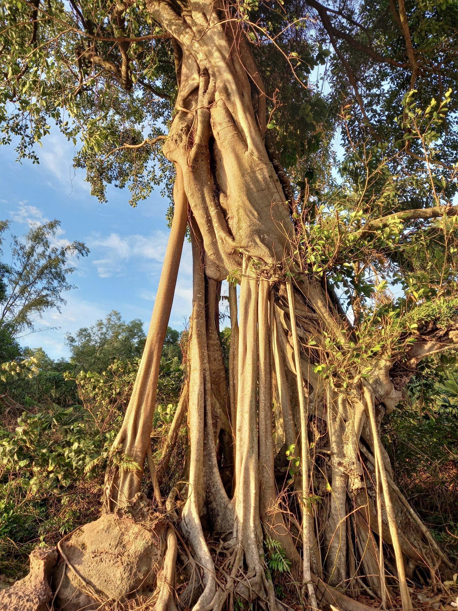 Trunk of a banyan tree, Vietnam