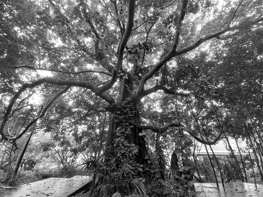 The many splayed branches, vines & trunks of a great banyan tree, Vietnam