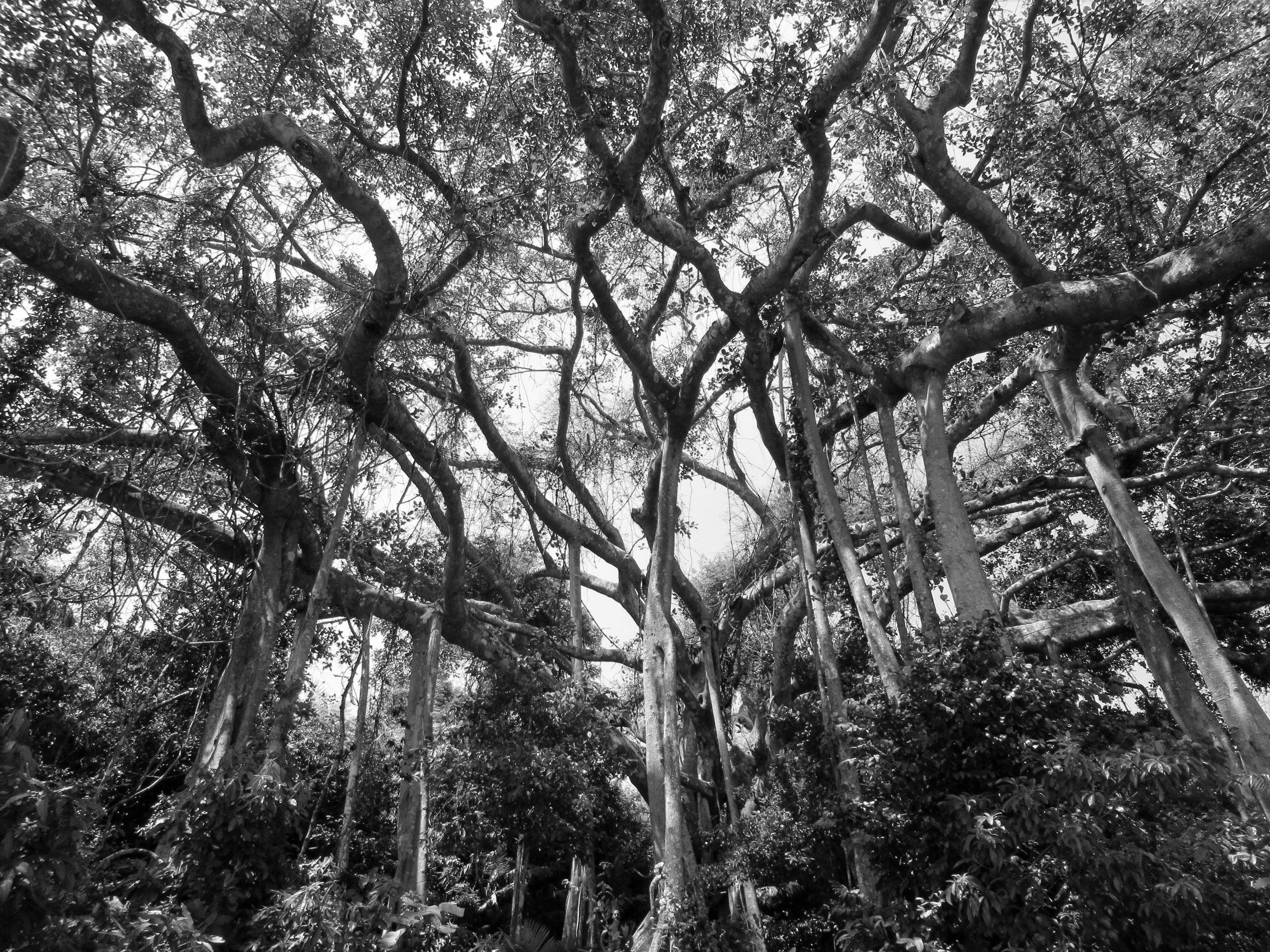 800 year-old banyan tree, Son Tra, Danang, Vietnam