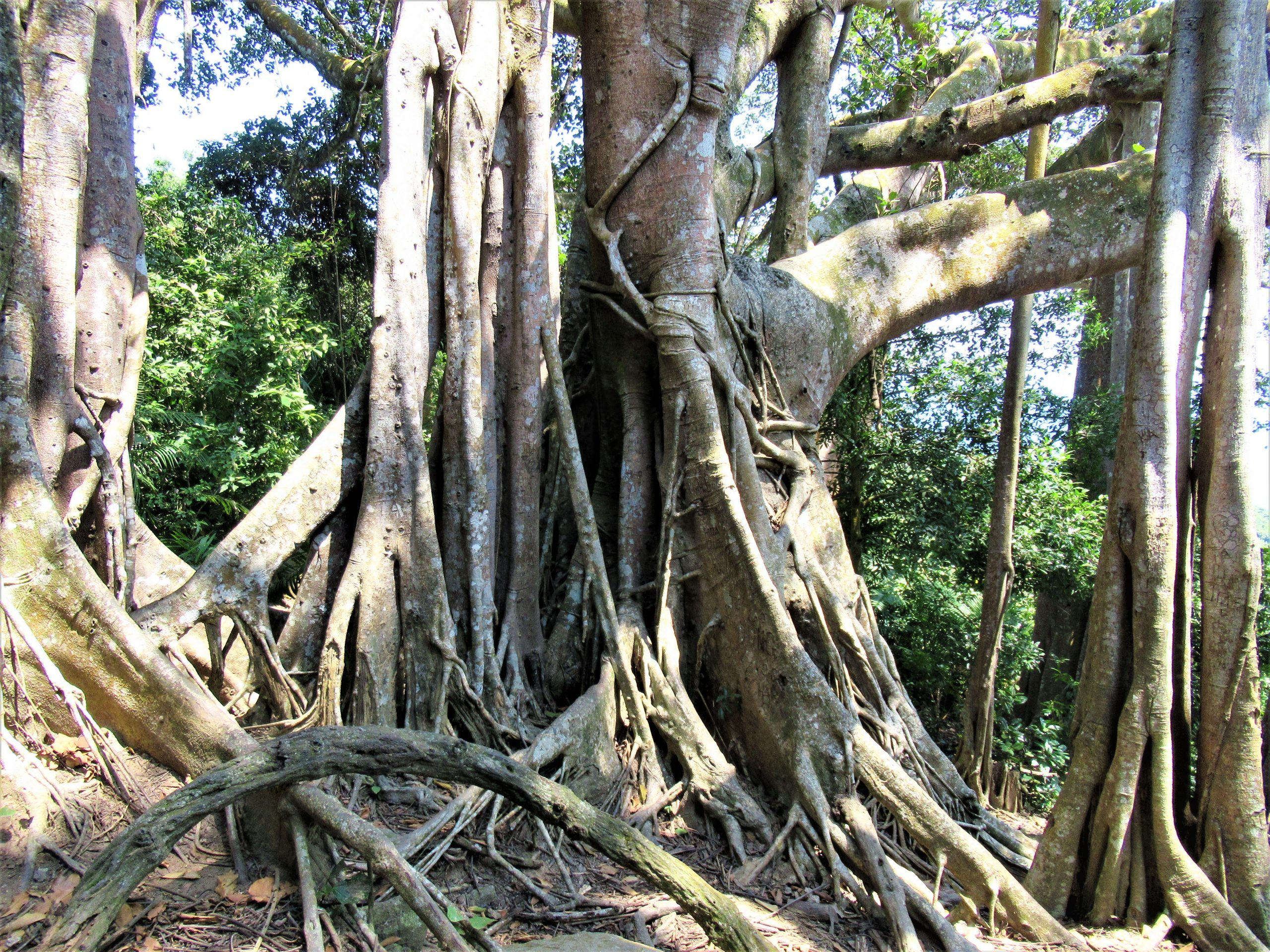 Roots, trunks & vines of a banyan tree, Vietnam