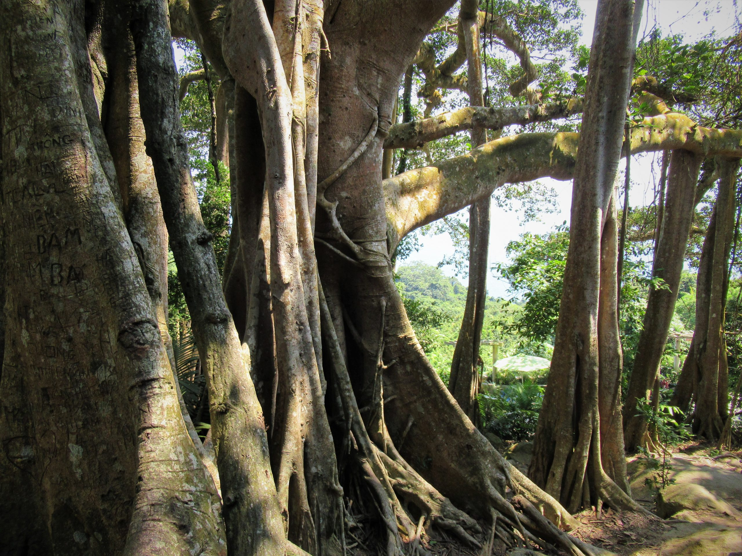 The splayed branches & secondary trunks of a banyan tree, Vietnam