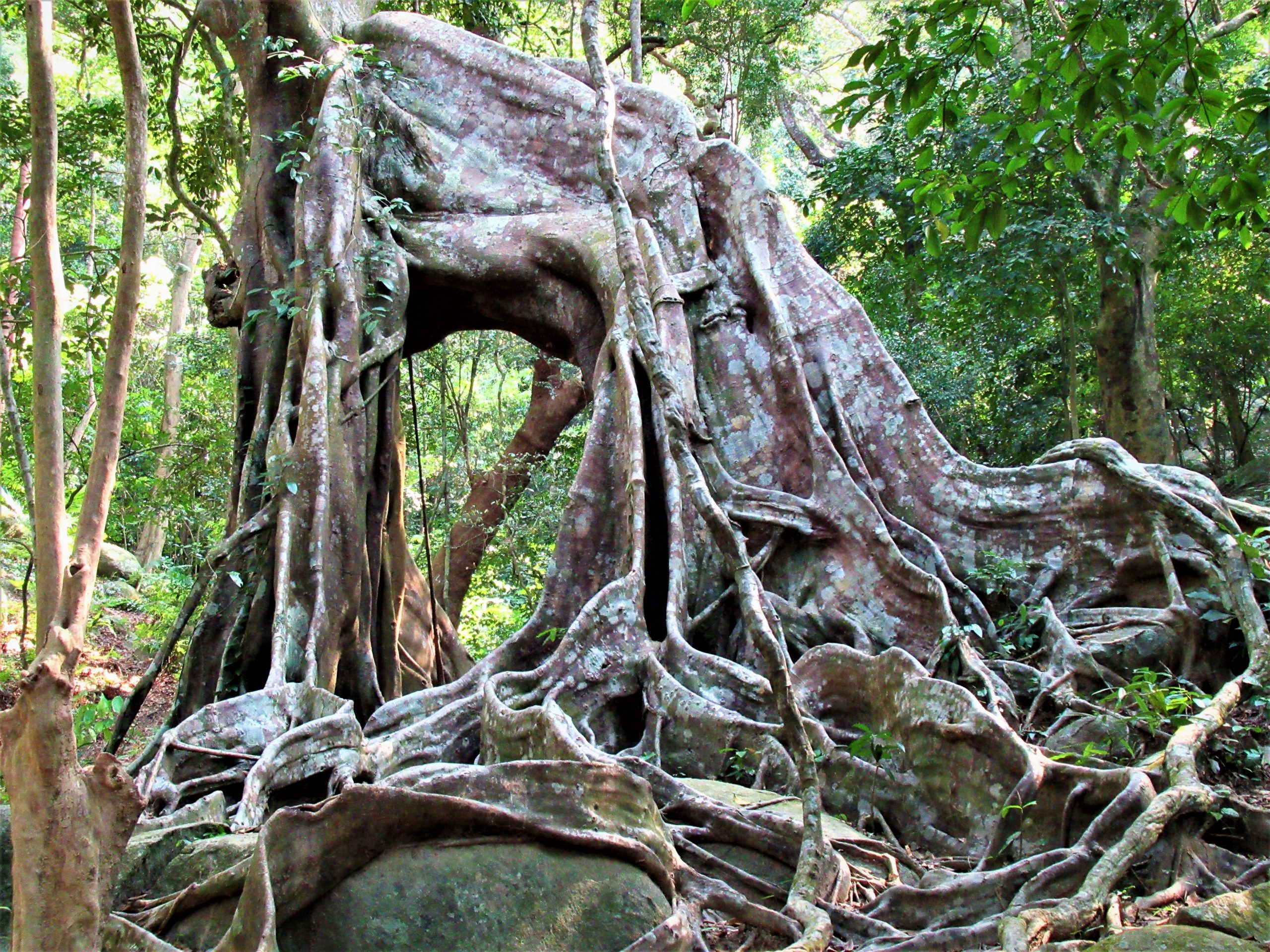 The hollow core of an old banyan tree, Vietnam