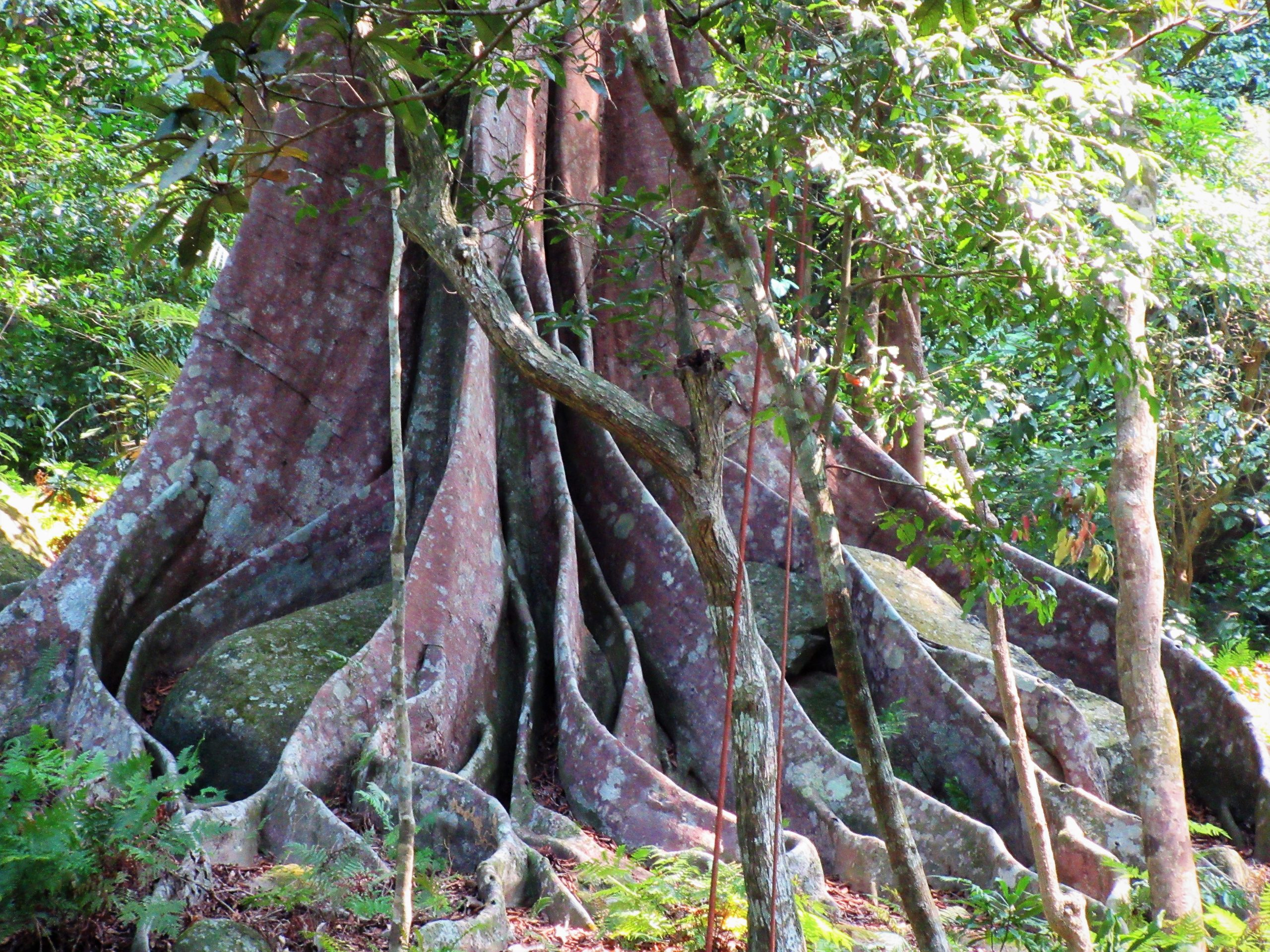 The rutted trunk of an ancient banyan tree, Vietnam
