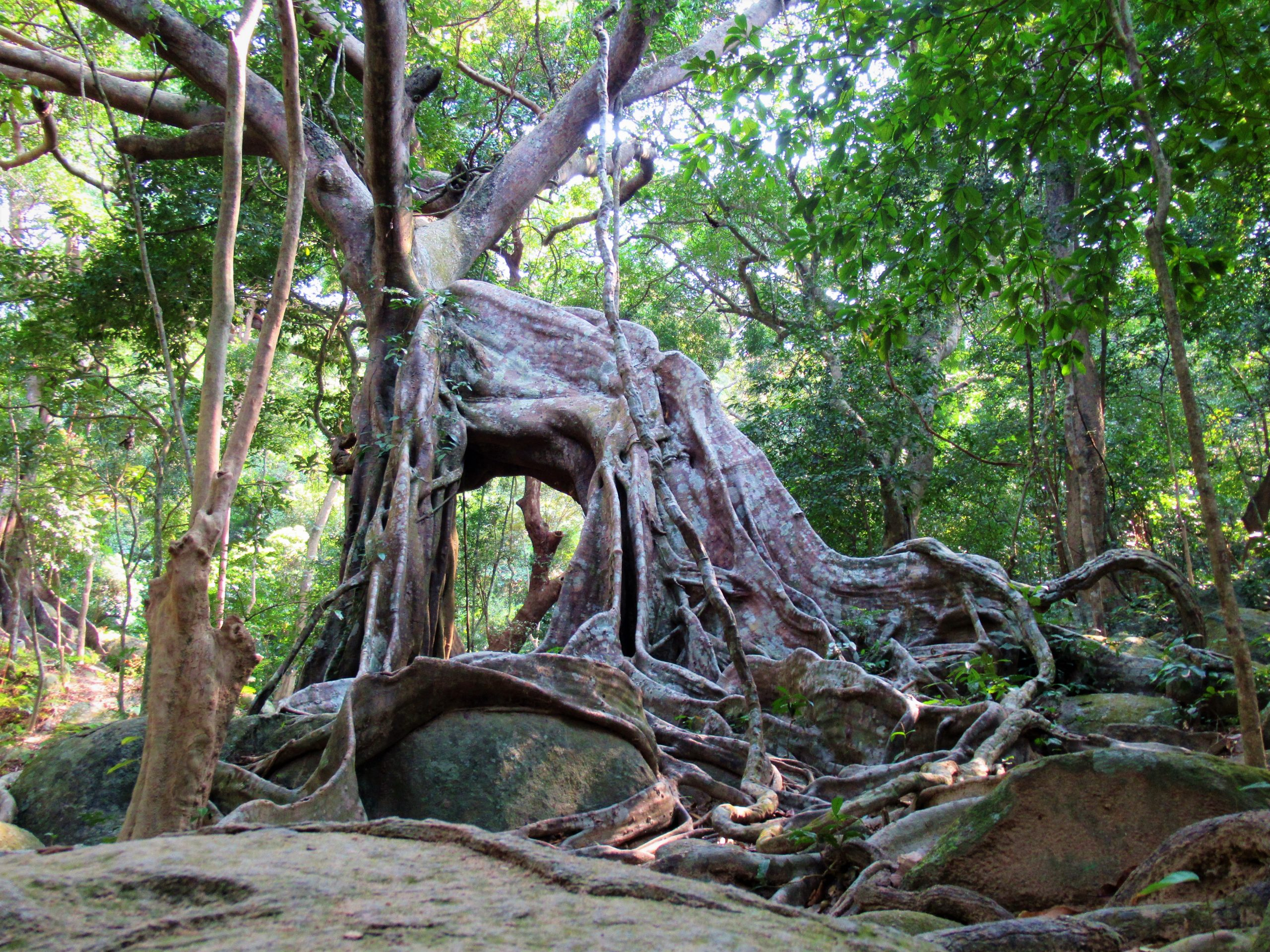 Twisted roots, vines & branches of an old banyan tree, Vietnam