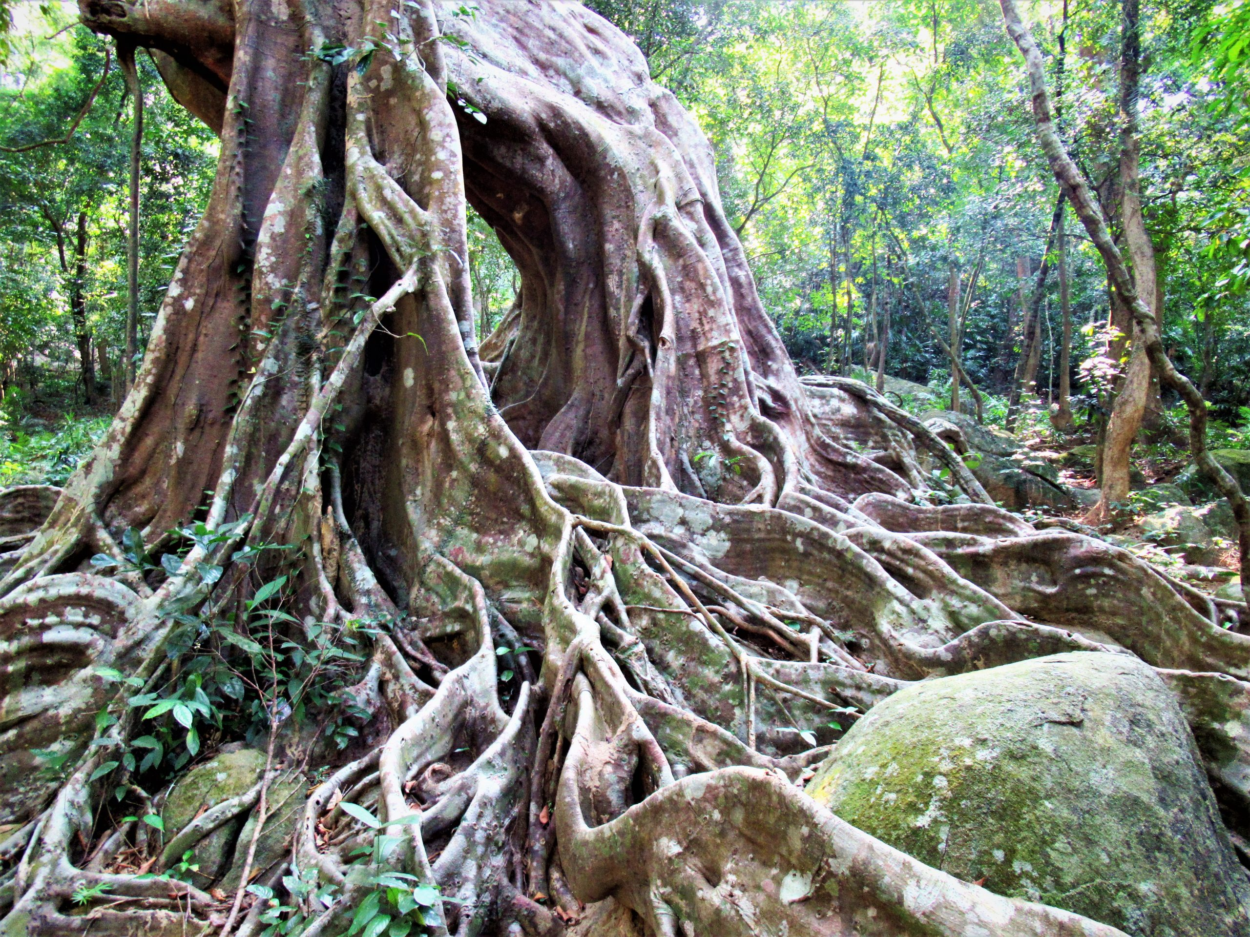 The gnarly roots of an old banyan tree, Vietnam