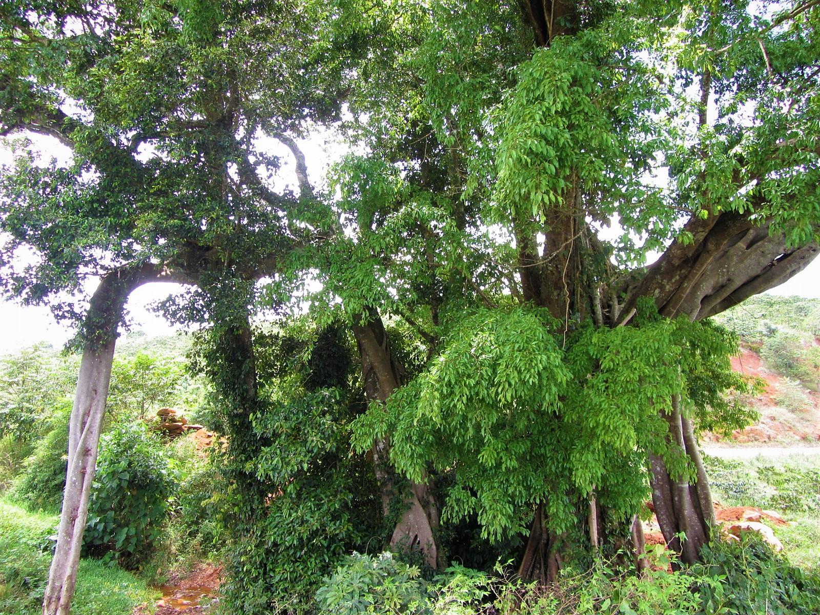 Large old banyan tree, Central Highlands, Vietnam
